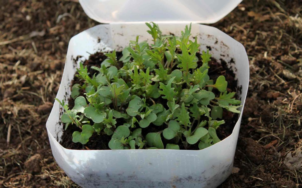 Winter Sown Russian Kale - Copyright Your Family Ark LLC