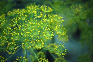 Flowering Dill - Copyright Your Family Ark LLC