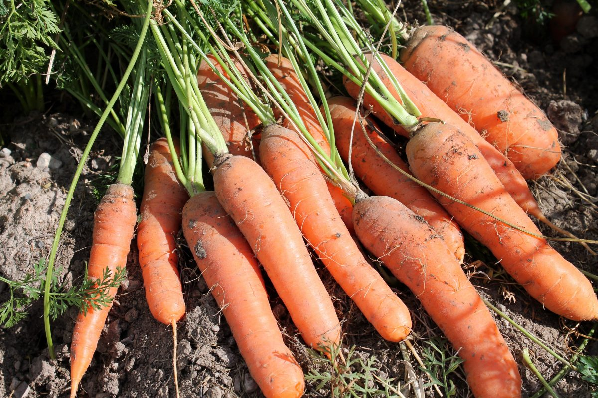 Carrots Copyright Your Family Ark LLC