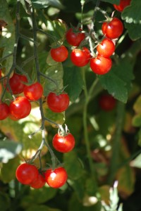 Cherry Tomatoes - Copyright Jennifer Smith 2014
