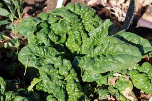 Spinach - Copyright Your Family Ark LLC 2014