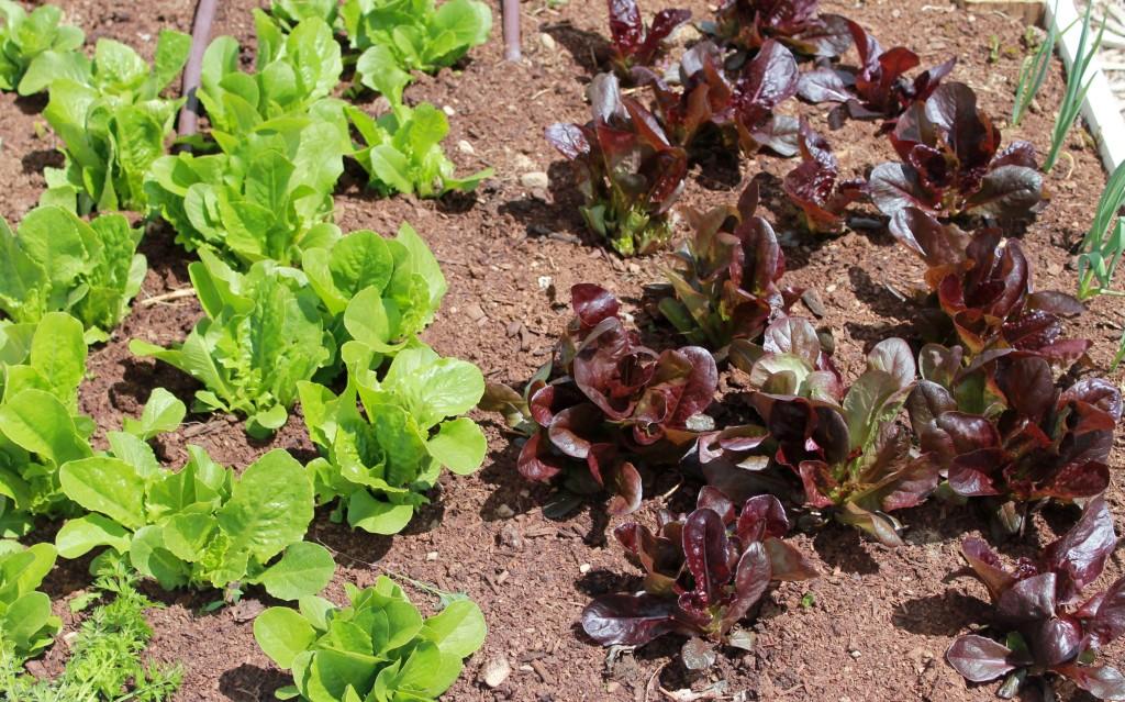 spring lettuce Copyright Your Family Ark LLC