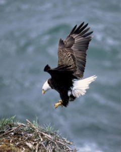 Eagle landing in nest
