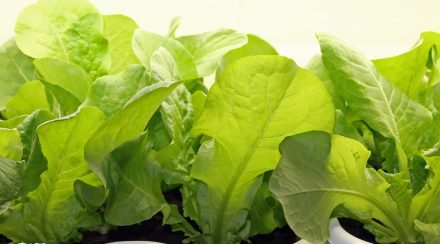 How to Grow Fresh Greens Inside Your Home All Year Long